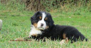 Come crescere un cucciolo di Bovaro del bernese
