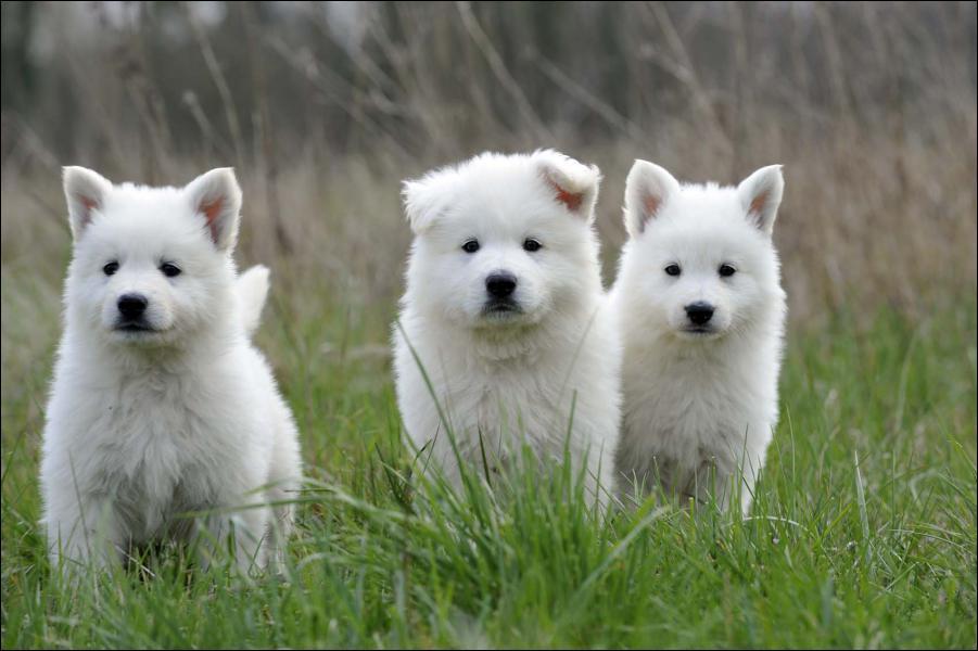 Cuccioli di Pastore Svizzero Bianco
