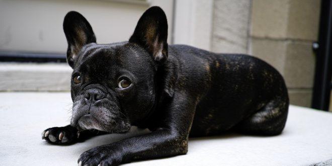 Arriva il caldo: come aiutare il nostro Bulldog Francese