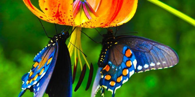 Belle e mimetiche: ecco perché le farfalle sono così colorate