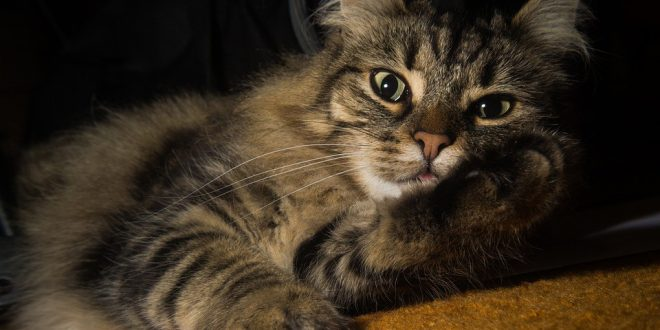 Il gatto delle foreste norvegesi: il cacciatore naturale