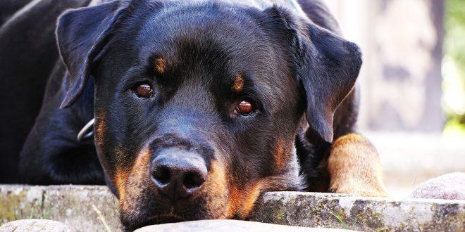 Rottweiler, un cane forte, equilibrato e coreggioso
