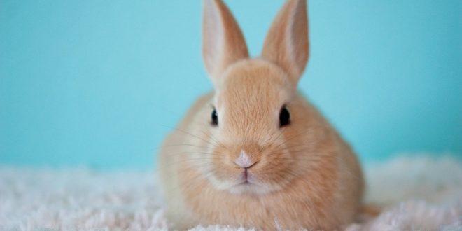 Il coniglio, un animale da compagnia