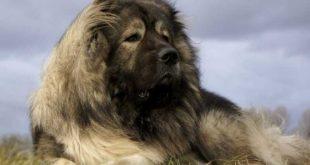 Il cane Pastore del Caucaso