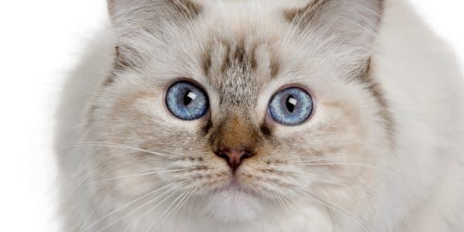 gatto ragdoll 10 mesi
