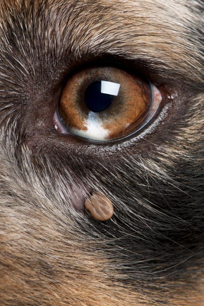 zecca cane - dove si annidano