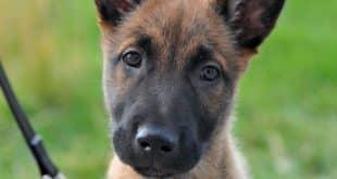 pettorine cani