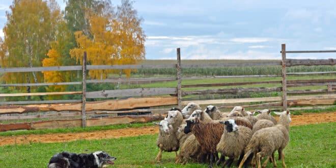 Cani da pastore